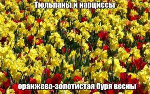 Тюльпаны и нарциссы – оранжево-золотистая буря весны.