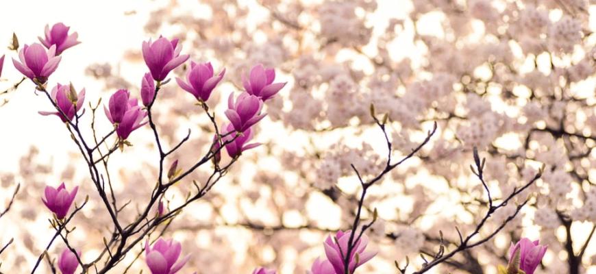 Цветущее дерево. Какие красивые статусы про весну выбрать.