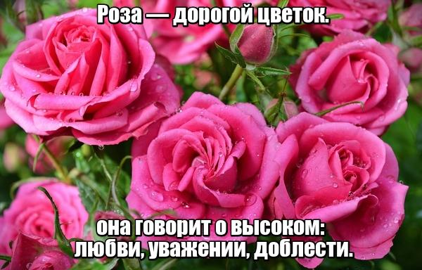 Роза — дорогой цветок. Она говорит о высоком: любви, уважении, доблести.