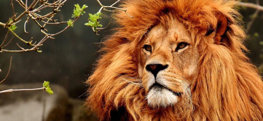 Красивый лев. Какие есть статусы про льва.